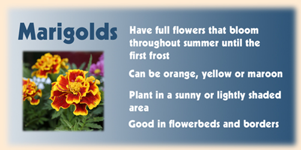 the image is a picture of a marigold plant