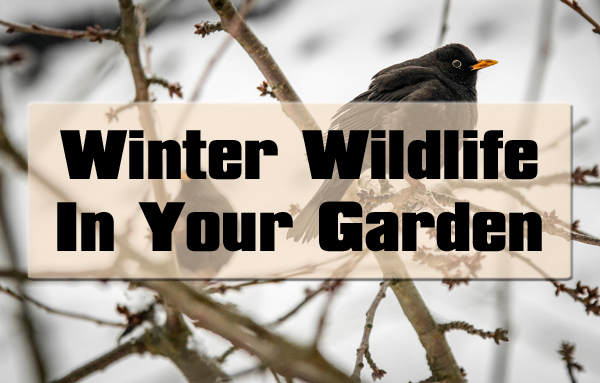 Winter Wildlife In Your Garden